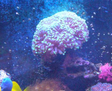 Les coraux d'Alice Carroll Euphil11