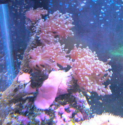 Les coraux d'Alice Carroll Euphil12