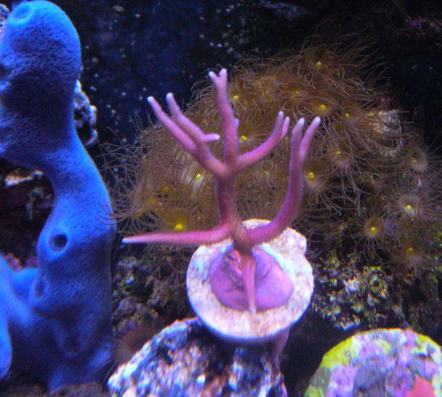 Les coraux d'Alice Carroll Hystri11