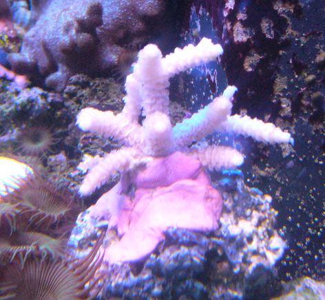 Les coraux d'Alice Carroll Millep10