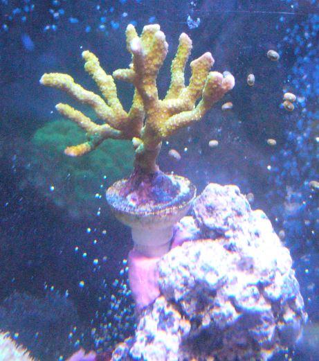 Les coraux d'Alice Carroll Montip11