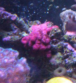 Les coraux d'Alice Carroll Nephty10