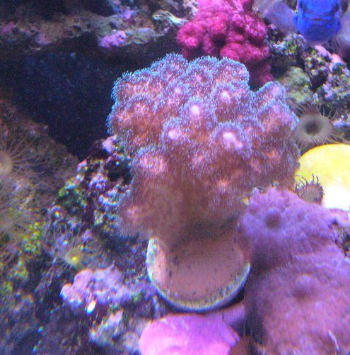 Les coraux d'Alice Carroll Pocill11