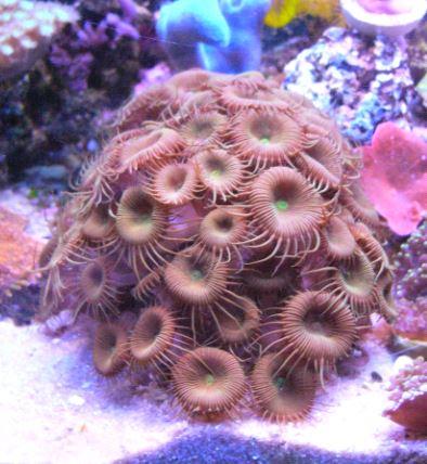 Les coraux d'Alice Carroll Protop11