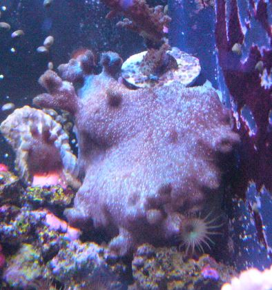 Les coraux d'Alice Carroll Psamma10