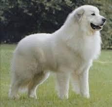 Les chiens de Marie Antoinette Indexb10