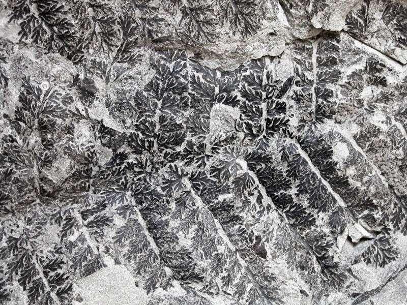 Palmatopteris furcata (Potonié ) Brongniart    0183_c10