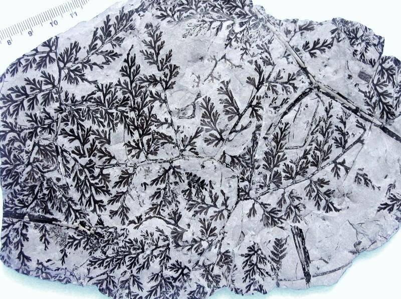 Palmatopteris furcata (Potonié ) Brongniart    1072_a10