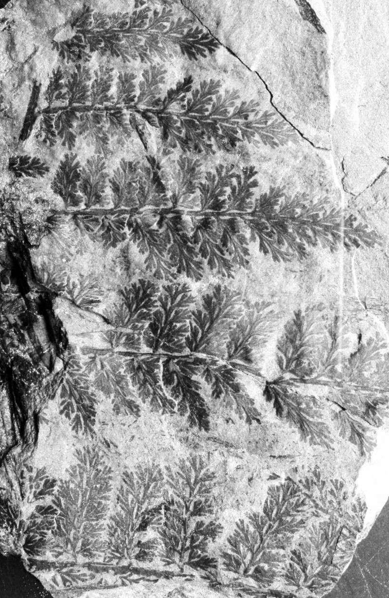 Palmatopteris furcata (Potonié ) Brongniart    1344_s10
