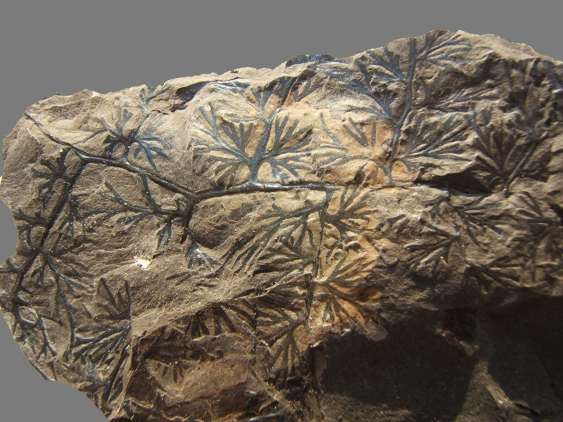 Palmatopteris furcata (Potonié ) Brongniart    Dscf2810