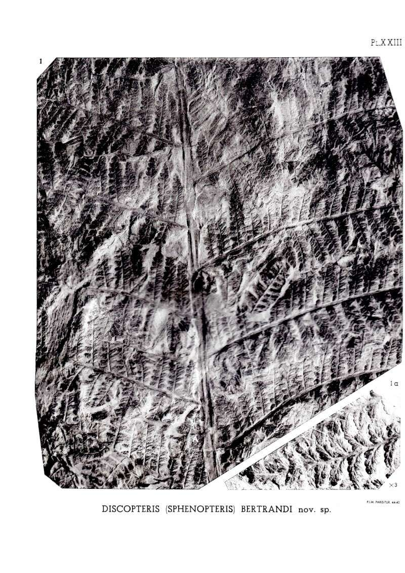 Discopteris Stur 1883  Img00211