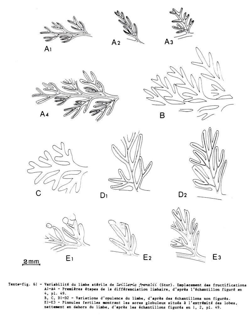 Palmatopteris furcata (Potonié ) Brongniart    Img00310