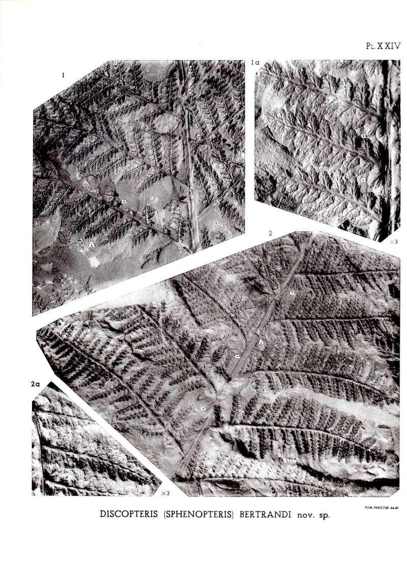 Discopteris Stur 1883  Img00311