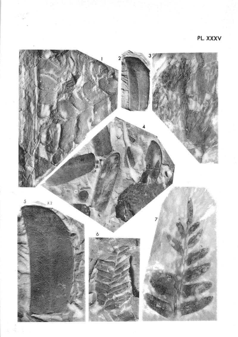 Linopteris Presl , 1838.    Hexagonocarpus Renault ,1890. P_229_10