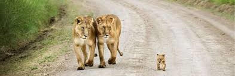 Les mamans et leur bébé 2_lion11