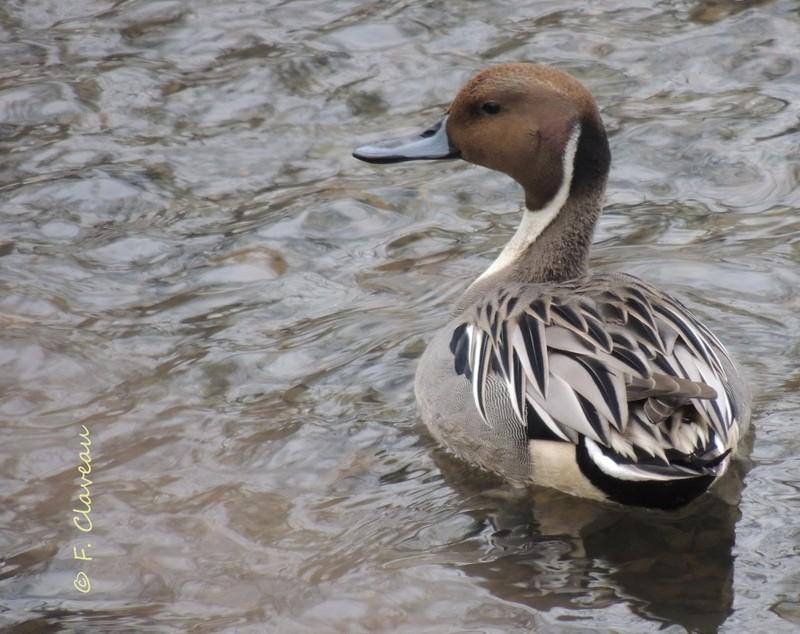 magnifique canard pilet Dscn0010