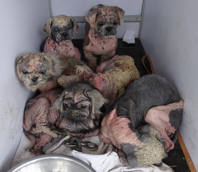 7 petits chiens retirés dans l'urgence Tous-r11