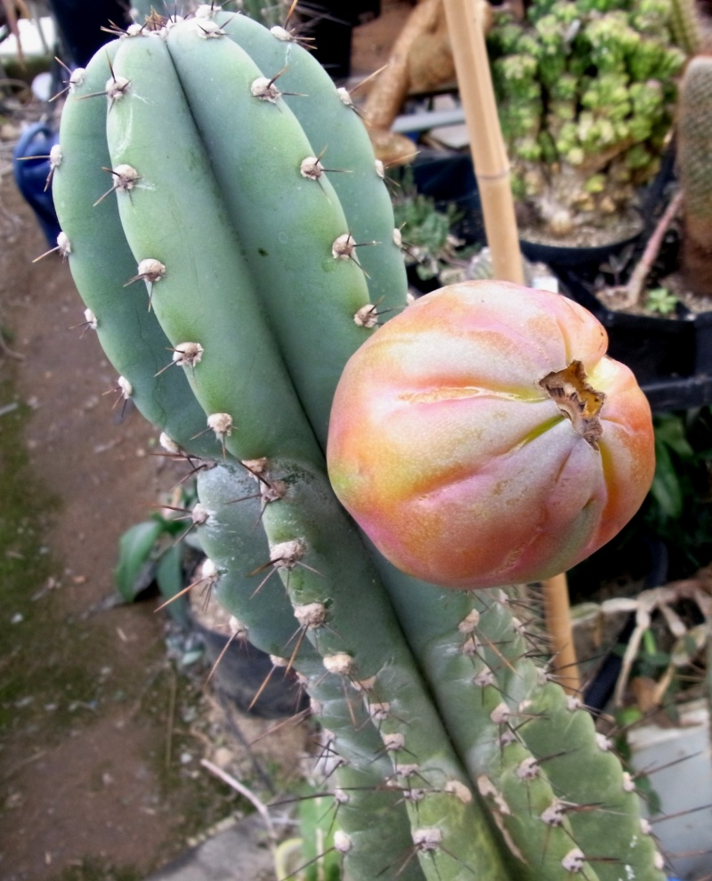 Cereus jamacaru Cereus10