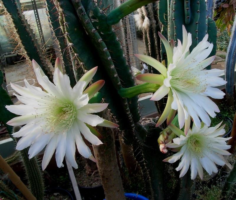 Cereus jamacaru Cereus11