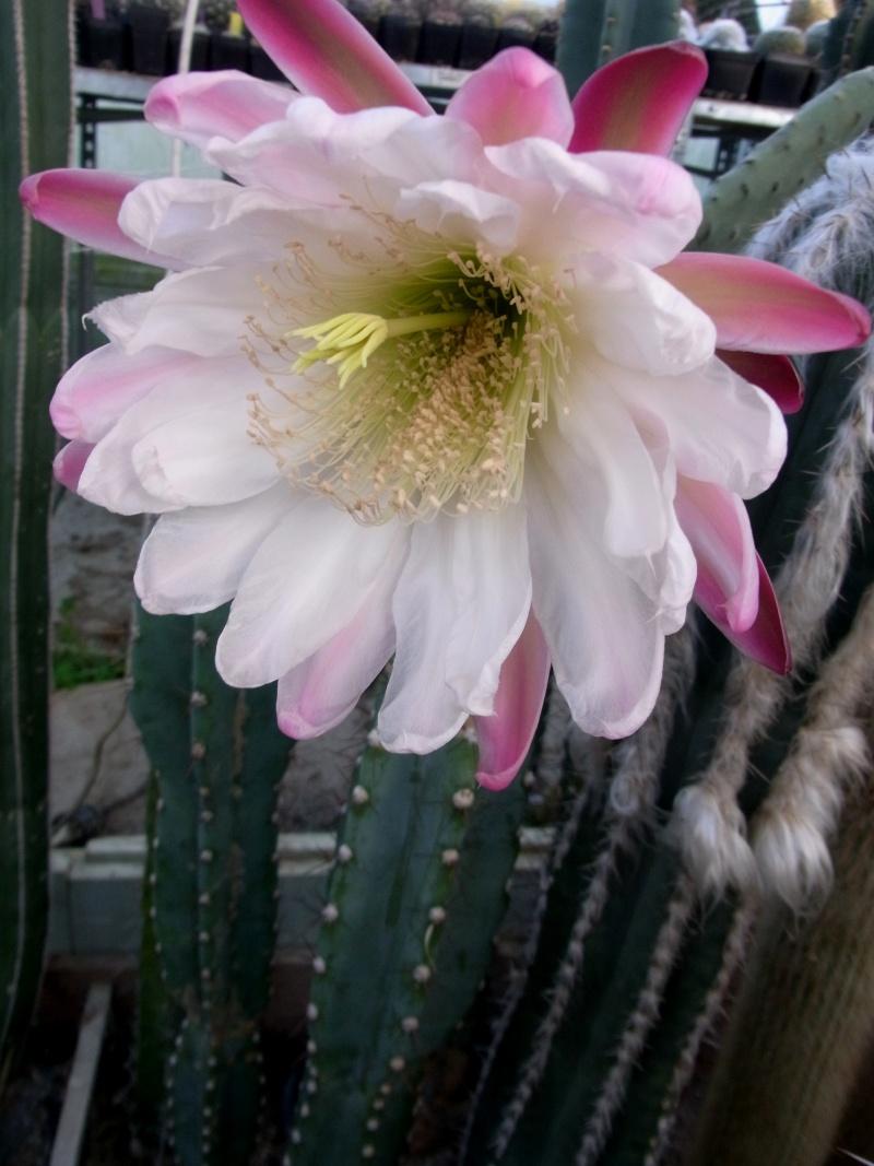 Cereus peruvianus var. peruvianus Cereus13