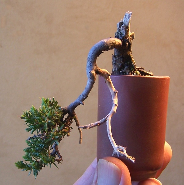 Developing bonsai from seed or cutting. 3-12_t10