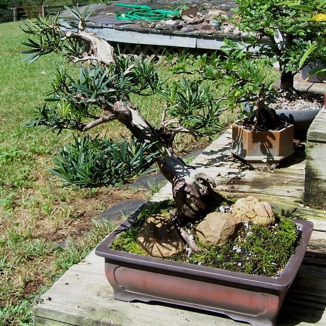 Podocarpus  tree  with pictures 8-1410