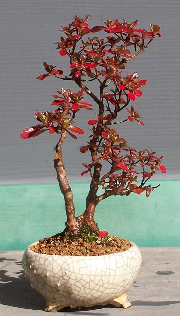 Developing bonsai from seed or cutting. Color_10