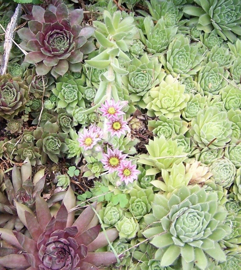 Hens and Chicks blooming Hen_an10