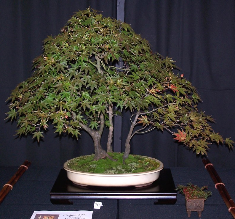 Carolina Bonsai Expo 2014 J_mapl10