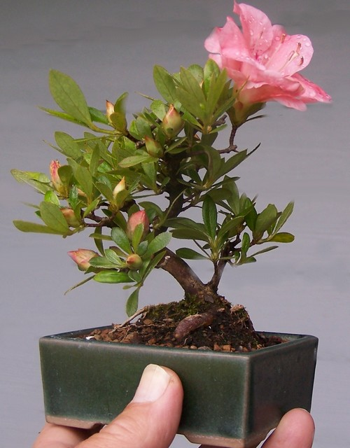 Developing bonsai from seed or cutting. Jay_mi10
