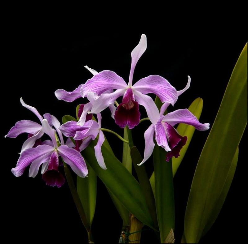 Cattleya (Laelia) purpurata f. striata Laelia11