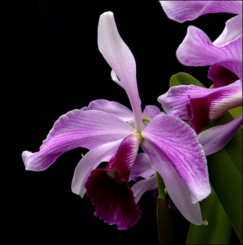 Cattleya (Laelia) purpurata f. striata Laelia12