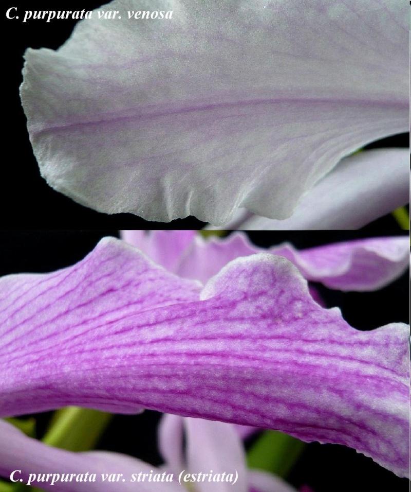 Cattleya (Laelia) purpurata f. striata Laelia16