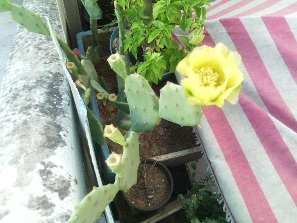 fleur de cactus  Fleur_10