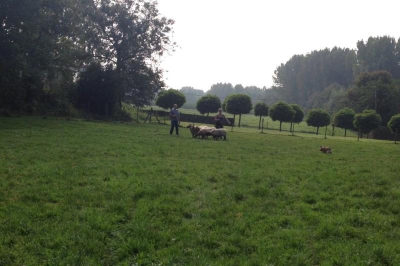troupeau - Un sheltie au troupeau 10656610