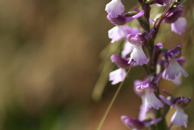 détermination orchis hybride [Anacamptis morio] Img_2713