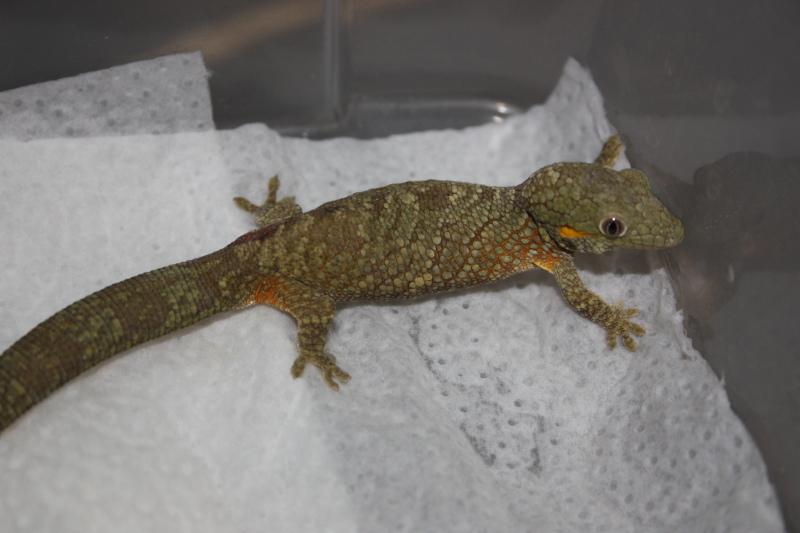 Eurydactylodes qui ne grimpe plus (gros problème) Img_9711
