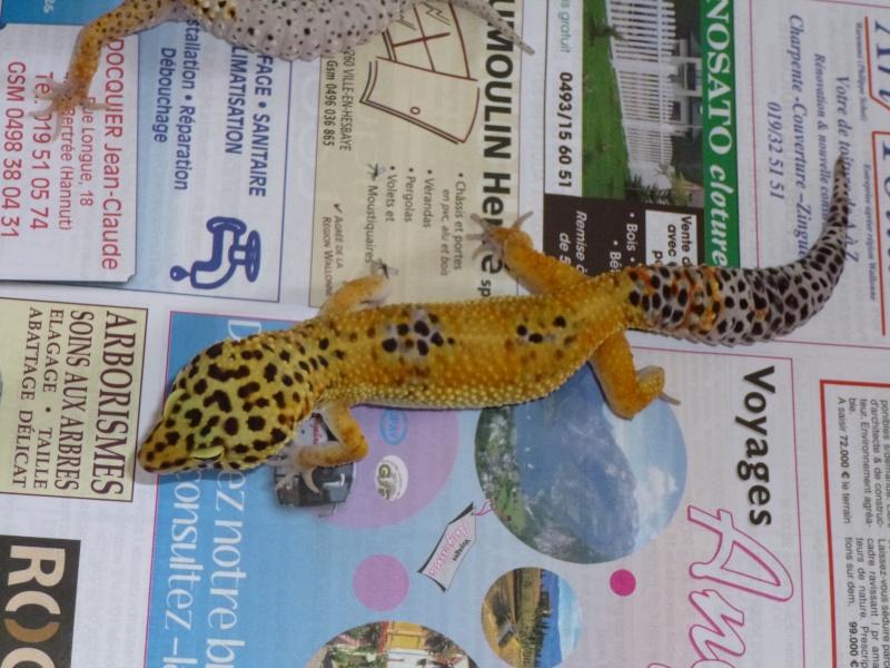 Parasites? Gecko léopard P1010110
