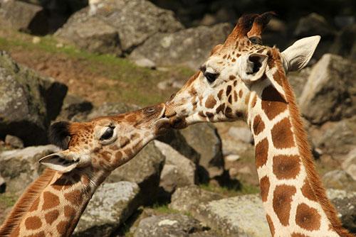 Những nụ hôn rực rỡ trong thế giới động vật 14010722