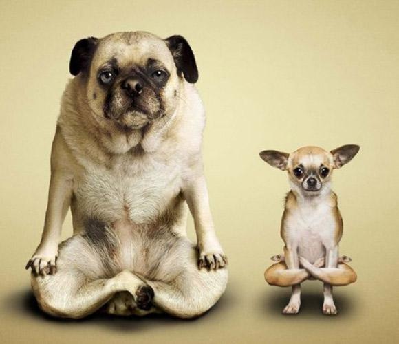 Chó tập Yoga 607e7a10