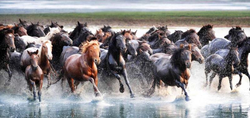 Ngựa phi trên thảo nguyên Mông Cổ  Ng110