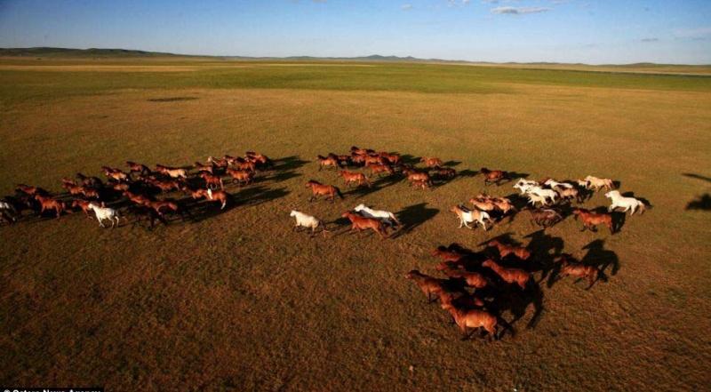 Ngựa phi trên thảo nguyên Mông Cổ  Ng310