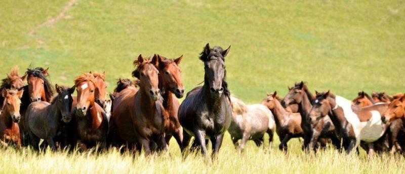 Ngựa phi trên thảo nguyên Mông Cổ  Ng610