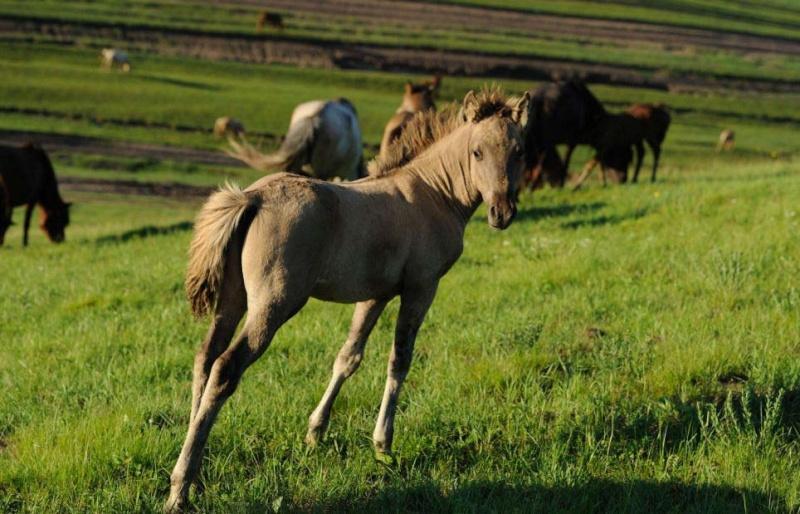 Ngựa phi trên thảo nguyên Mông Cổ  Ng810
