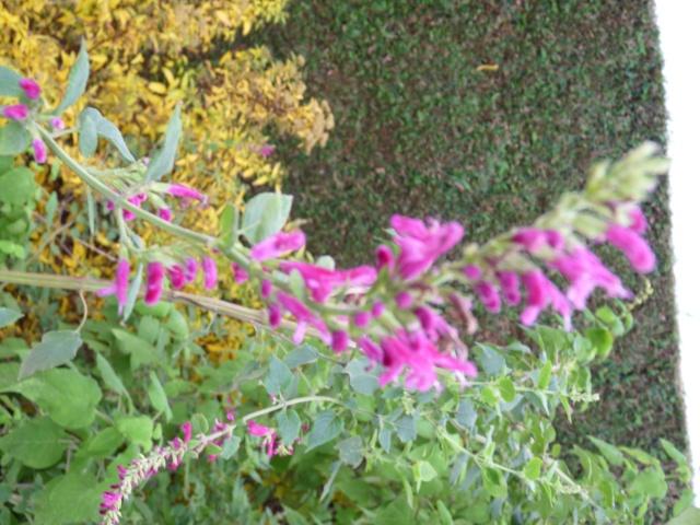 Salvia - les floraisons du moment - Page 13 P1080317