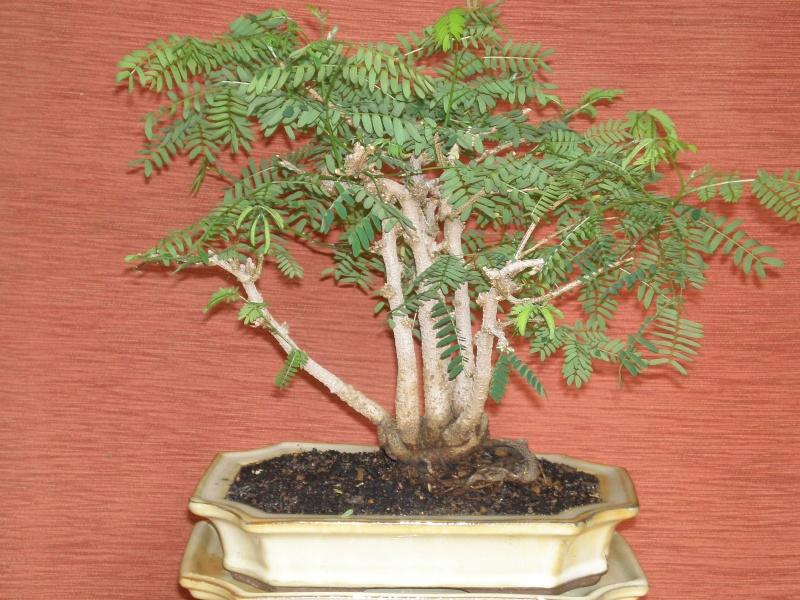 Caesalpinia Pulcherrima Caesal18