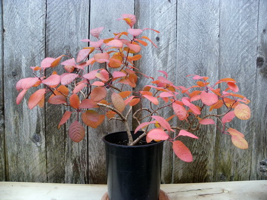 Smokebush Cotinus coggygria 'Royal Purple' Octobe10