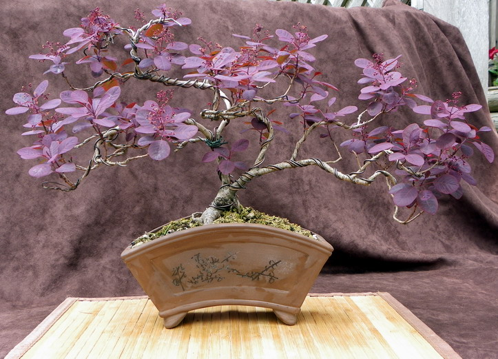 Smokebush Cotinus coggygria 'Royal Purple' Smokeb10