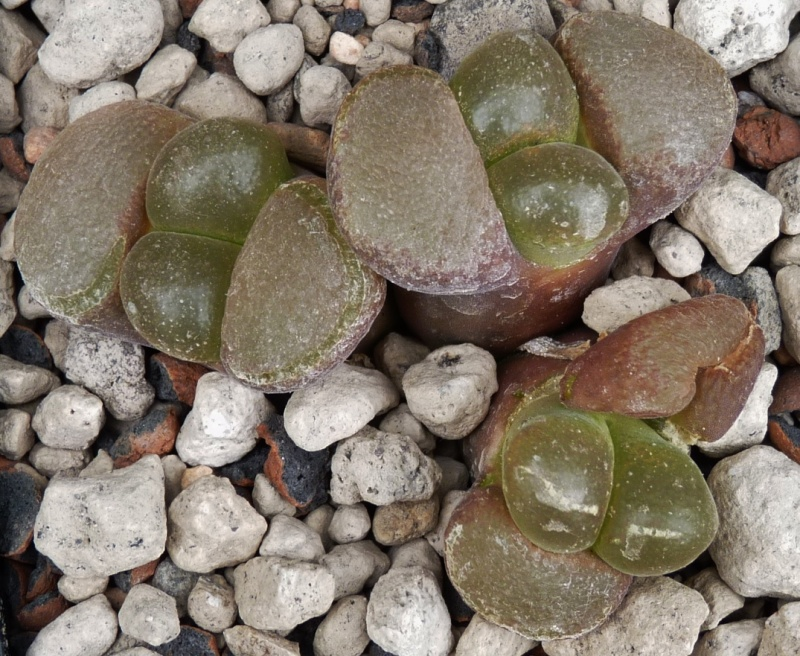 Ophthalmophyllum verrucosum 03010