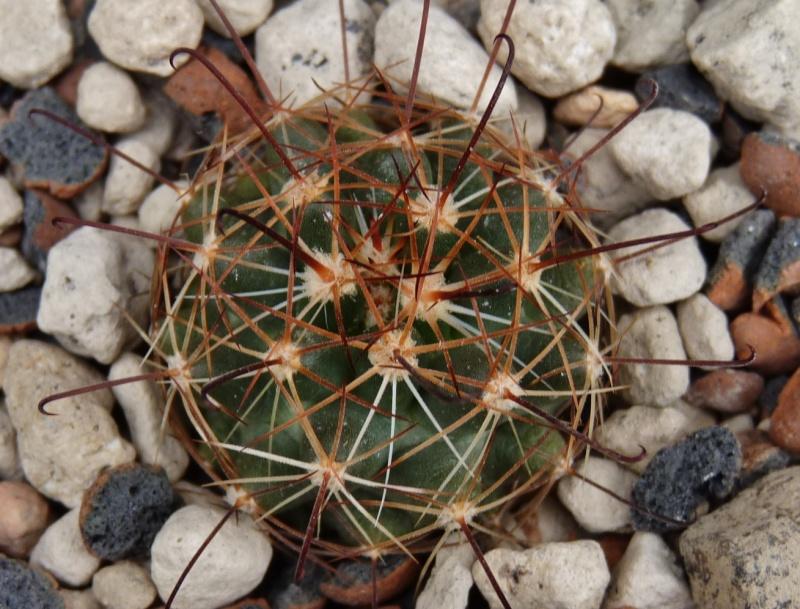 Mammillaria wrightii var. wolfii 04011